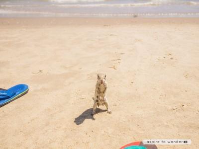 Prairie dog on the beach at South Padre Island, Texas